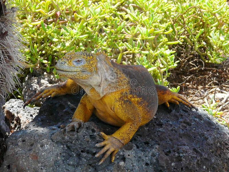 Yellow Iguana sitting on a stone, Galapagos Islands, Ecuador royalty free stock photo