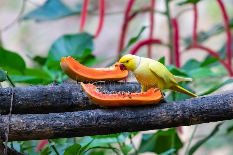 Yellow Indian Ringneck Parrot feed on fresh papaya on a feeding perch in a zoo royalty free stock photos