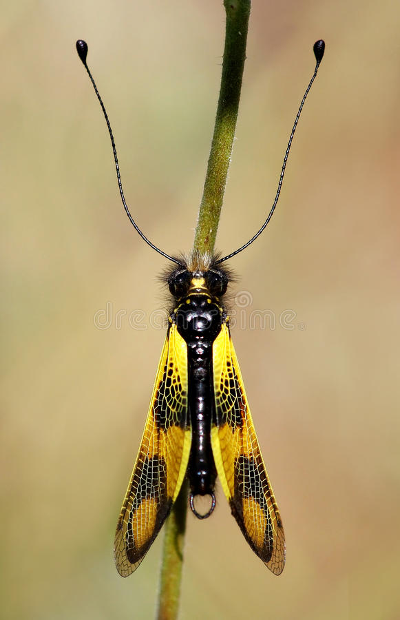 Free Yellow Insect Royalty Free Stock Photo - 9644735