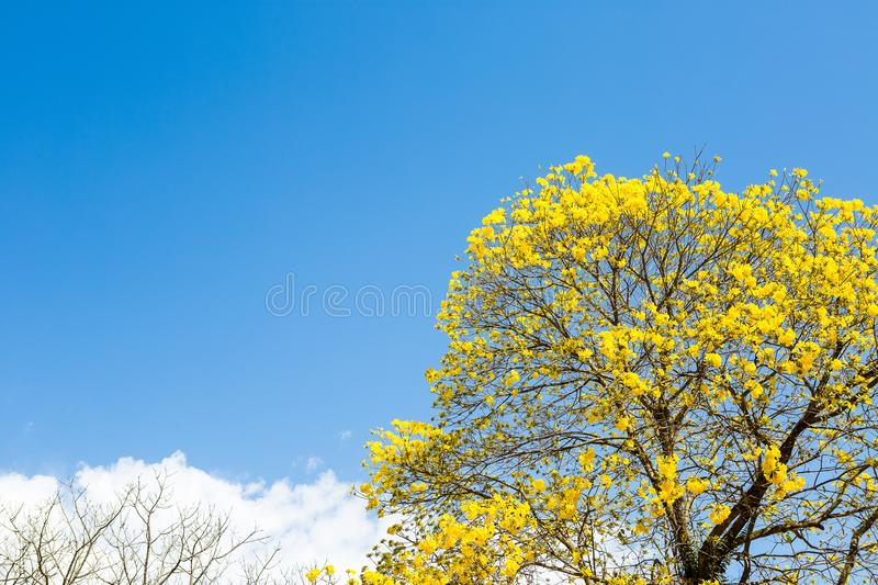 The Yellow Ipe. Is found in all regions of Brazil and has always attracted the attention of naturalists, poets, writers and even politicians. In 1961, the then royalty free stock image