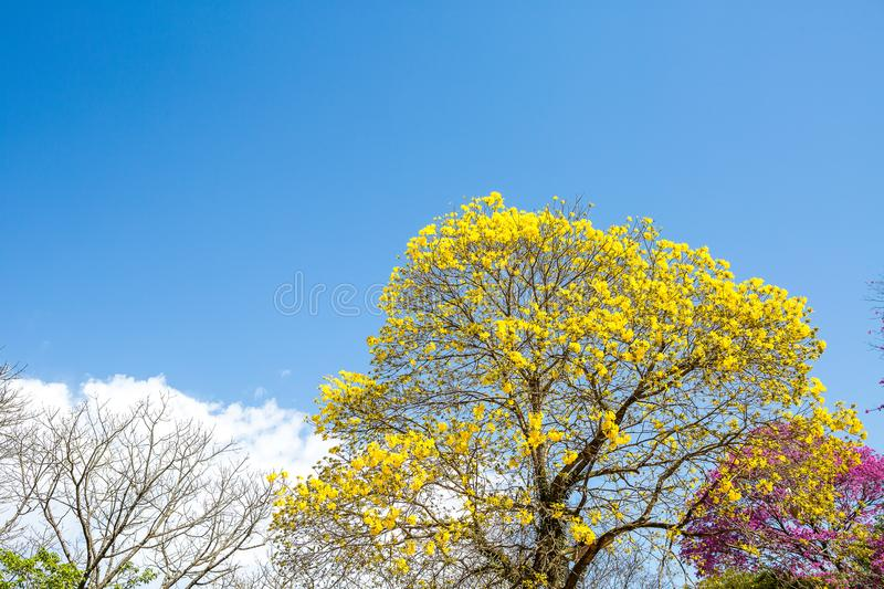 The Yellow Ipe. Is found in all regions of Brazil and has always attracted the attention of naturalists, poets, writers and even politicians. In 1961, the then royalty free stock photos