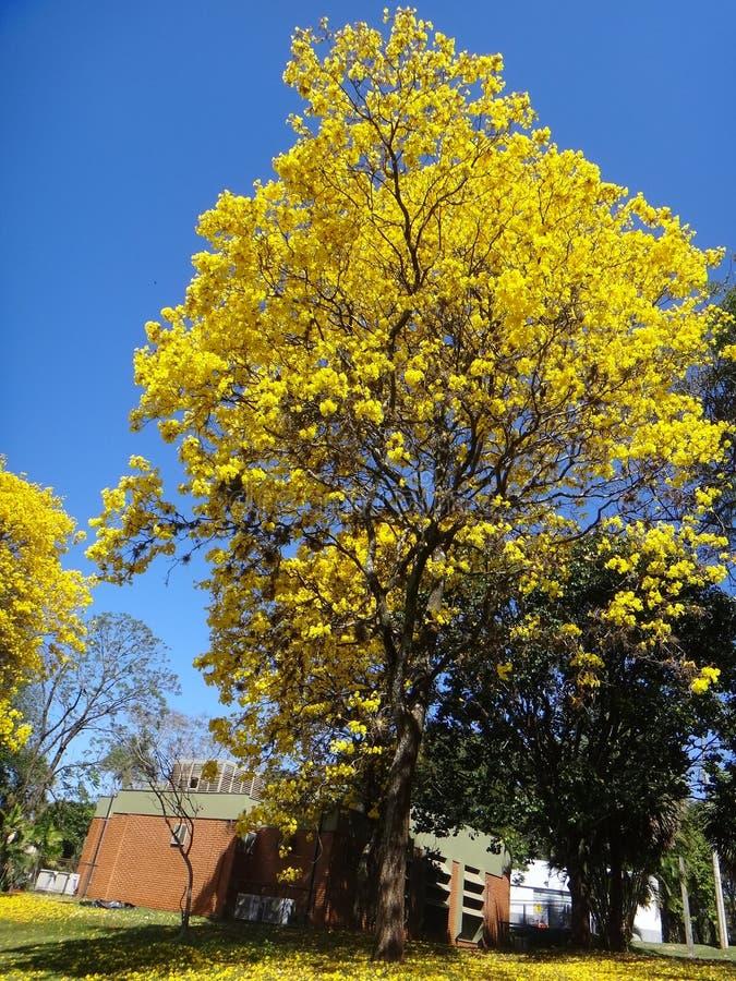 Yellow ipe. Handroanthus albus is a species of the genus Handroanthus tree. Popurlamente is called in Brazil yellow-ipe-of-saw, ipe gold, ipe-yellow stock photo