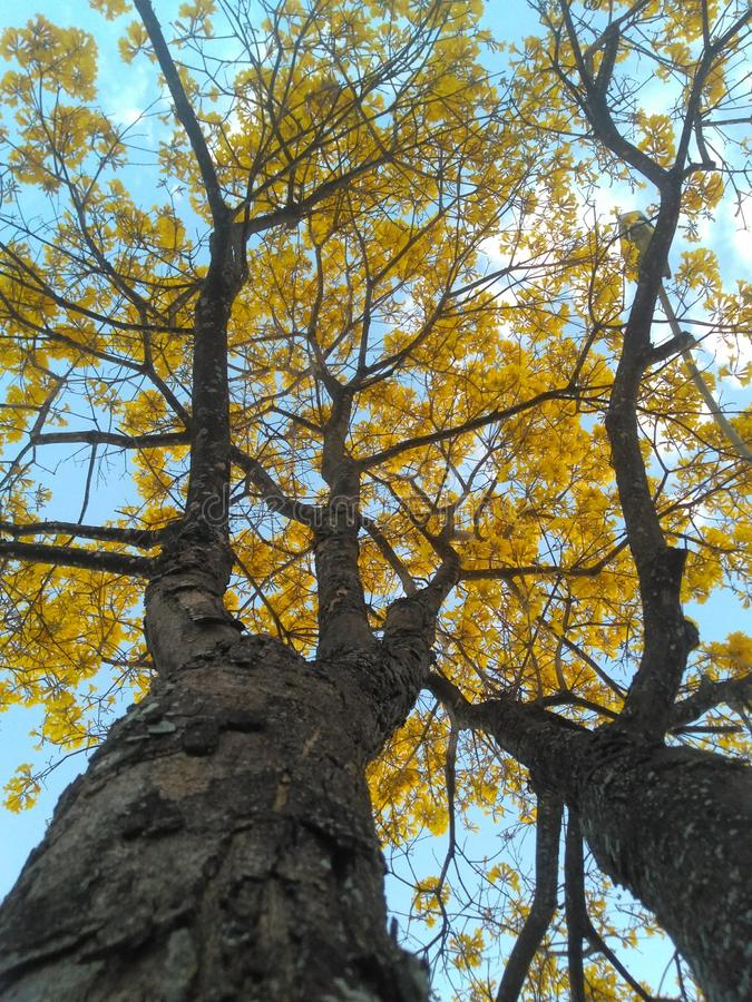 Yellow ipe tree. Beautiful yellow ipe tree, a colorful tree common in the middle of Brazil stock photography