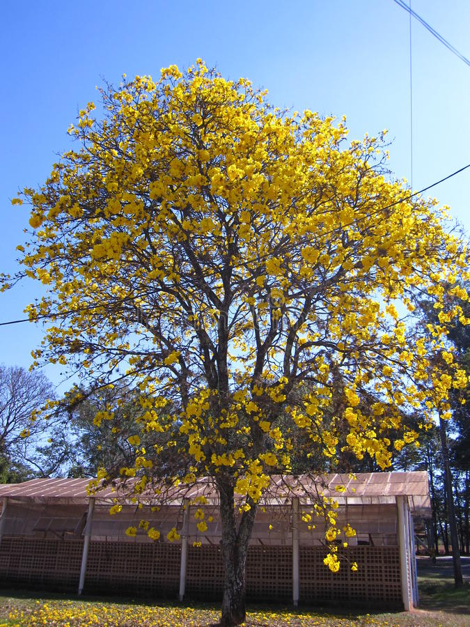 Yellow ipe - Tree. Handroanthus albus is a species of the genus Handroanthus tree. Popurlamente is called in Brazil yellow-ipe-of-saw, ipe gold, ipe-yellow royalty free stock photo