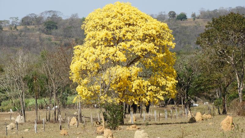Yellow ipe tree. This peculiar tree occurs in the Cerrado and Brazilian Pantanal biomes.  Its beauty is unique and this genus has other species that produce stock photos