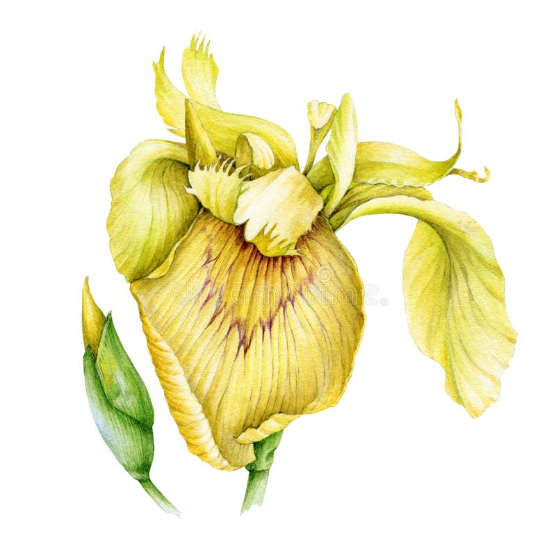 Yellow iris flower with a bud watercolor illustration. Garden beautifull botanical plant - Iridaceae flower in the full bloom with. Tender petals, isolated on stock photography