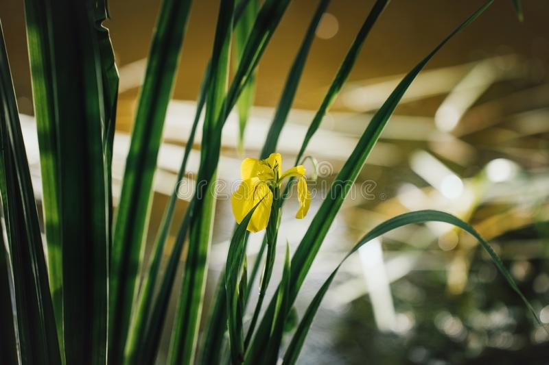 Yellow iris on green leaf background. Iris pseudacorus near the water at sunset. Beautiful scenery. Yellow flower growing. Near a pond or swamp stock photography