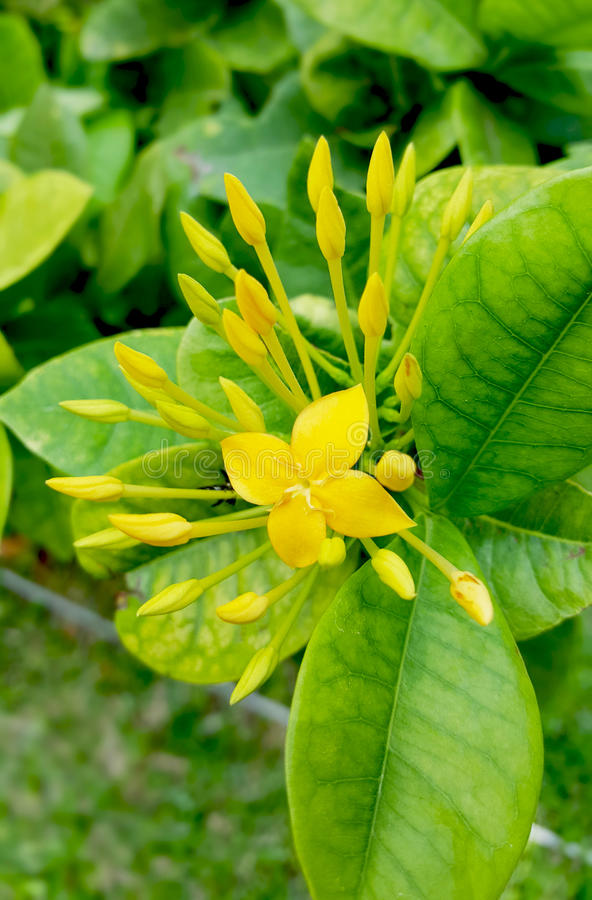 Yellow Ixora coccinea flower stock image