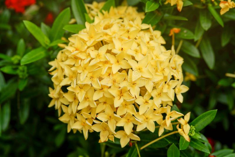 Yellow ixora flowers on Natural green garden stock photo