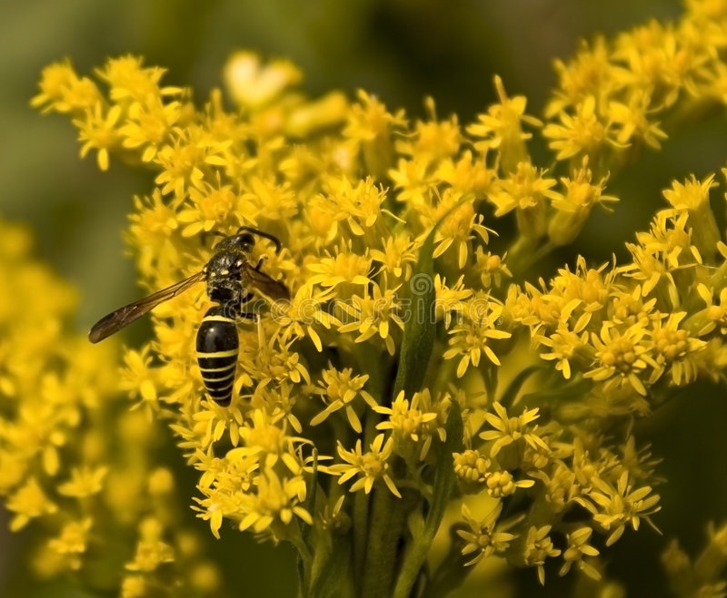 Download Yellow Jacket stock photo. Image of nature, wasp, flowers - 6917550