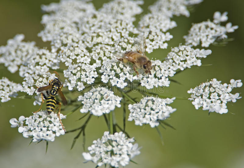 Download Yellow Jacket & Bee Collecting Pollen Stock Photography - Image: 10357352