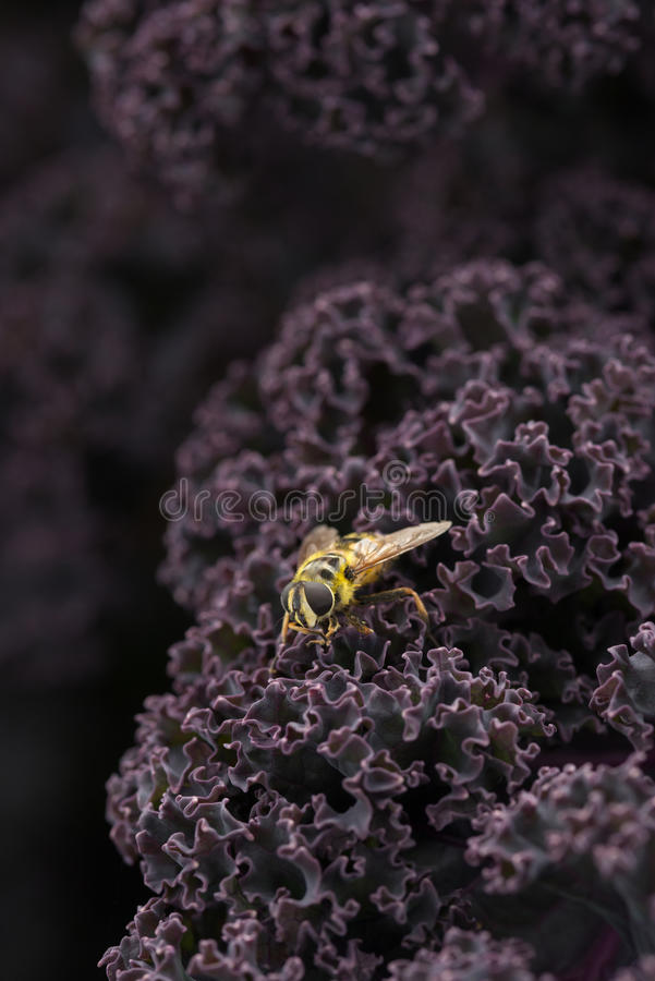 Yellow Jacket Hoverfly on Purple Kale. Yellow jacket hoverly on a bunch of purple kale leaves stock photos