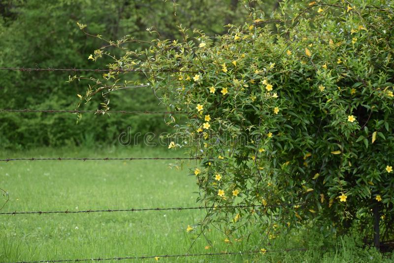 Yellow Jasmine Flowers on a fence in East Texas. This was taken in East Texas, I was driving and looking for flowers. East Texas stock images