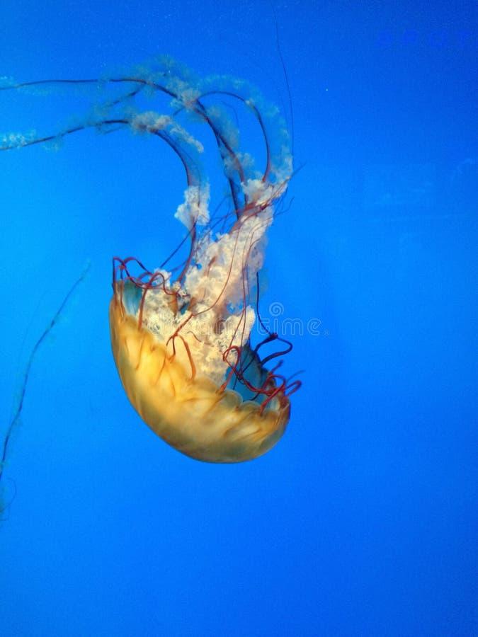 Yellow Jellyfish stock photo