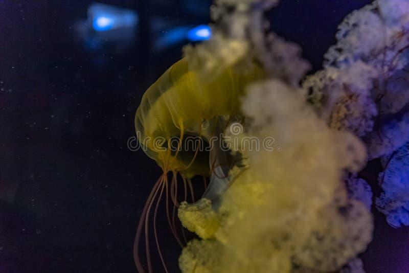 Yellow jellyfish swim to light stock photos