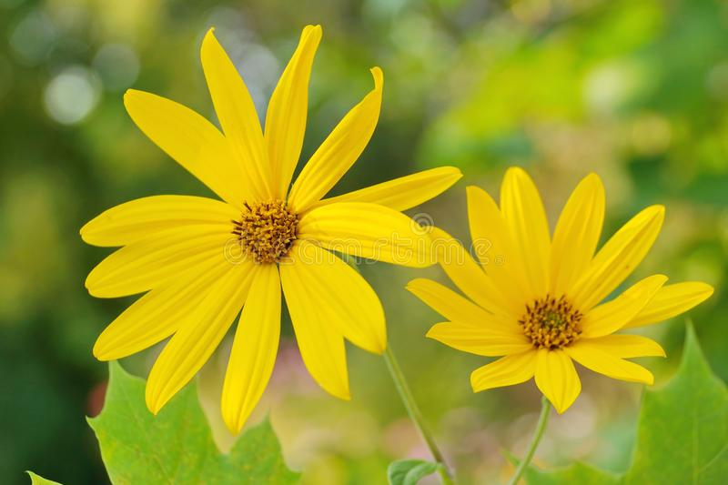 yellow Jerusalem artichoke two flowers on blurred background close-up stock images