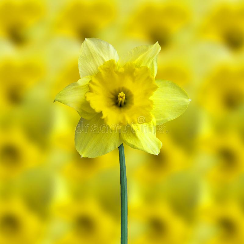Yellow jonquil stock image