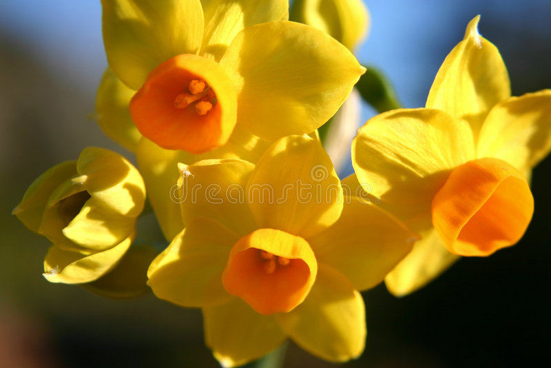 Yellow Jonquil Flowers stock photos