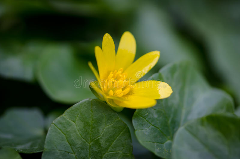 Yellow kingcup flower stock image