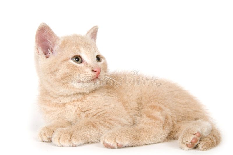 Yellow kitten on white background stock images