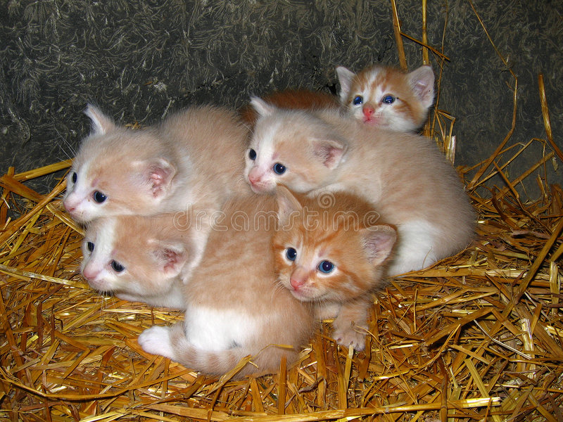 Yellow Kittens royalty free stock images