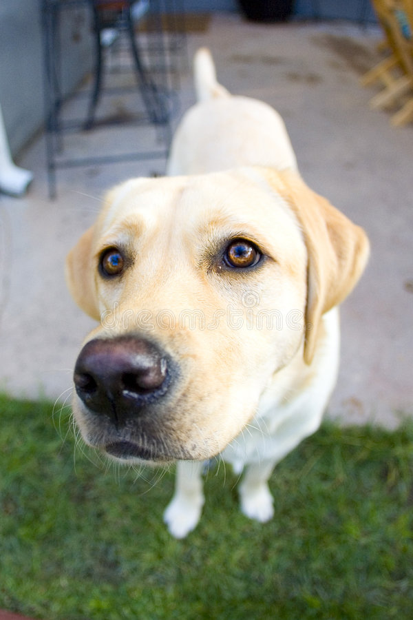 Yellow lab. Happy to see you stock image