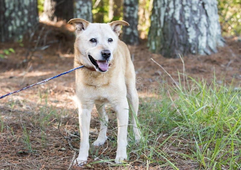 Yellow Lab Heeler mistura cão de raça fora da coleira imagem de stock royalty free