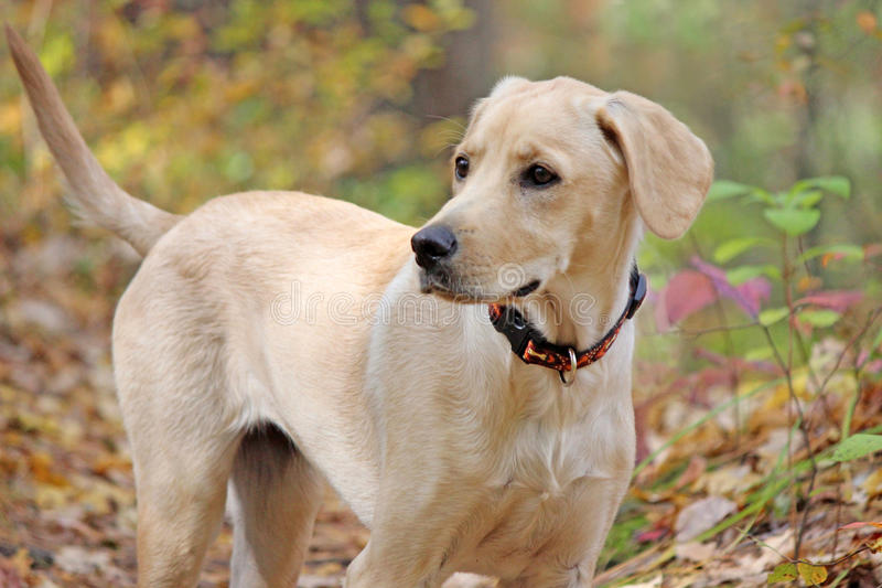Yellow Lab Mix in Fall. A yellow lab mix in Fall taking a walk in a forest stock photography