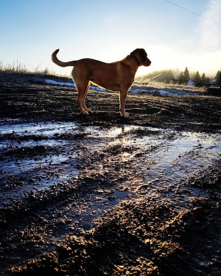 Yellow lab in the morning royalty free stock photography