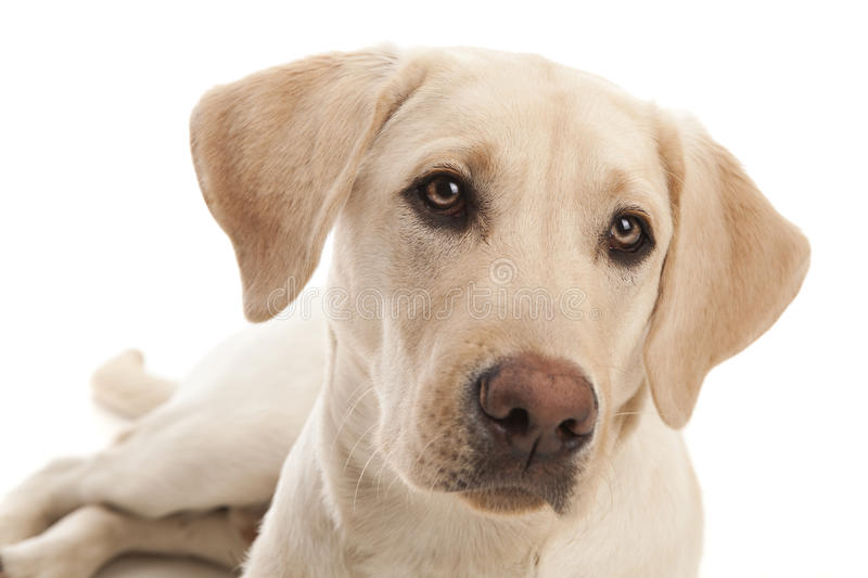 Yellow Lab. Portrait of a yellow lab puppy. Isolated on white royalty free stock photo
