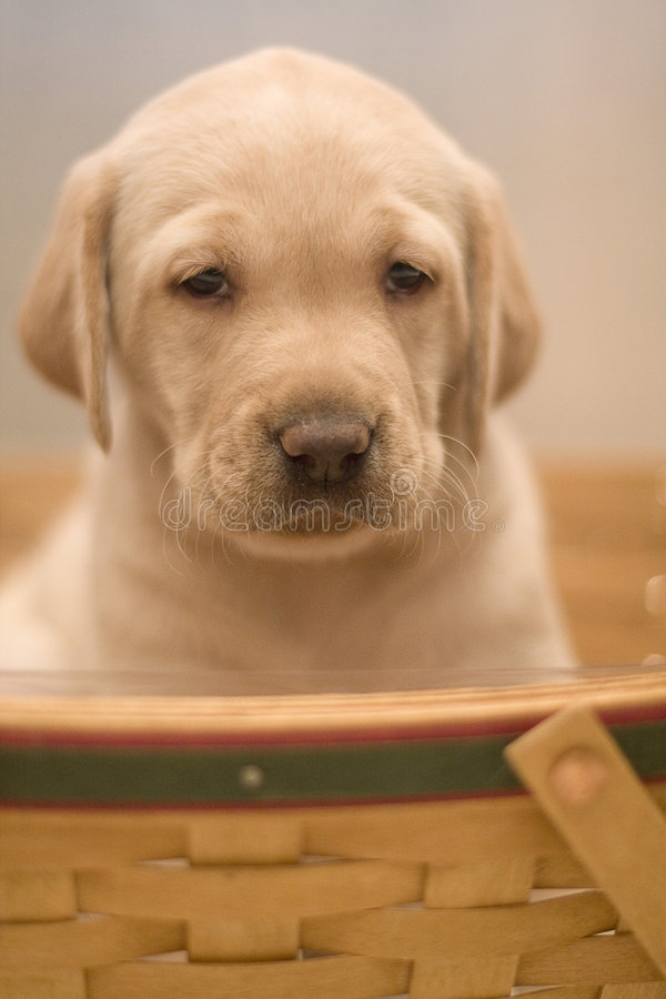 Yellow Lab Pup royalty free stock photo