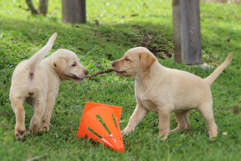 Yellow lab puppies. Yellow Labrador puppies playing tug of war with a stick with orange cone marking the middle stock photo