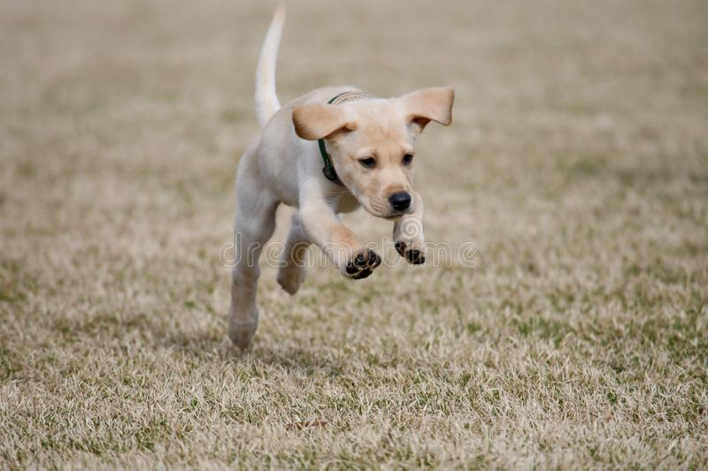 Yellow Lab Puppy Playfully Jumps royalty free stock photo