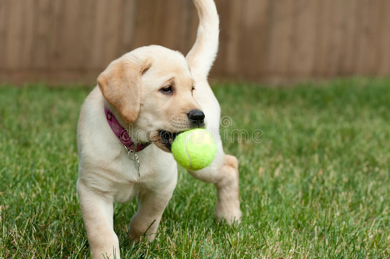 Download Yellow Lab Puppy Playing stock photo. Image of domestic - 20240606