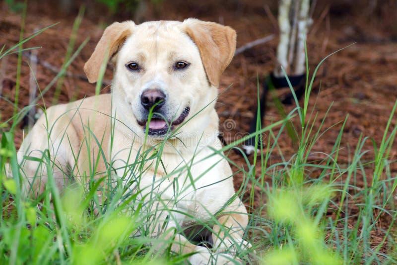 Yellow Lab Retriever mixed breed dog. Walton County Animal Control, humane society adoption photo, outdoor pet photography stock photography