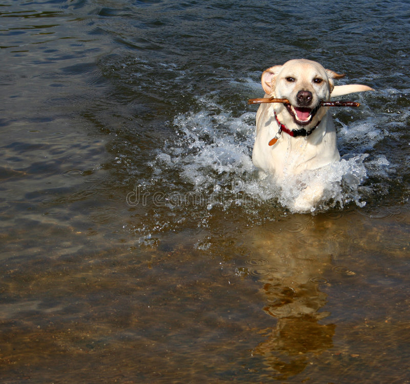 Yellow Lab in Water royalty free stock photo