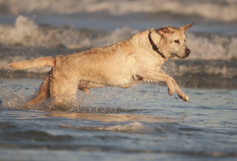 Yellow Labrador stock images