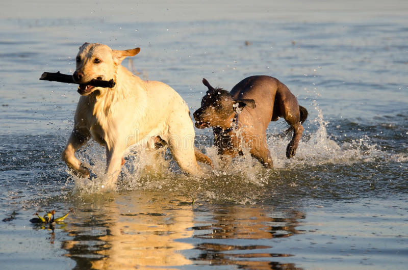 Yellow Labrador dog and mexican hairless in water royalty free stock images