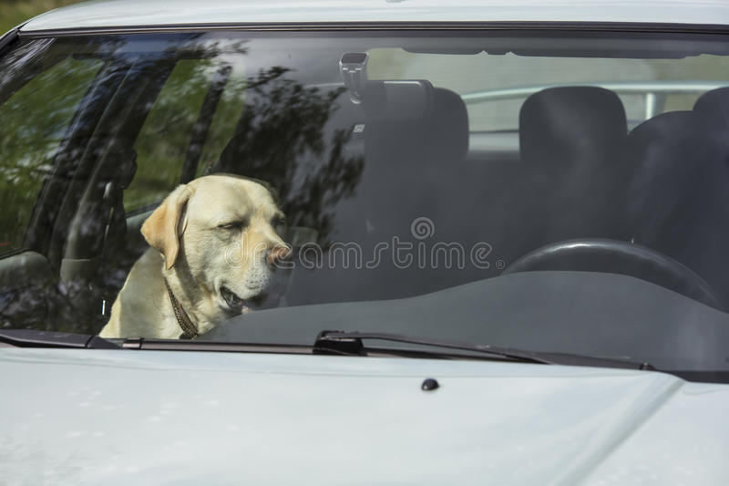 A yellow Labrador dog sits in a hot car in Finland. royalty free stock image