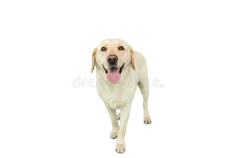 Yellow labrador dog standing royalty free stock photography