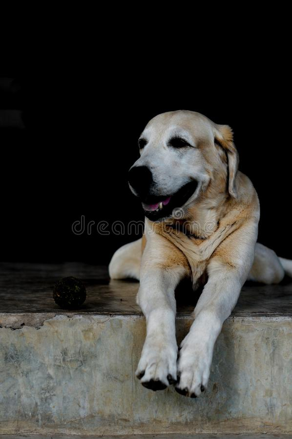 Yellow Labrador lay down royalty free stock images