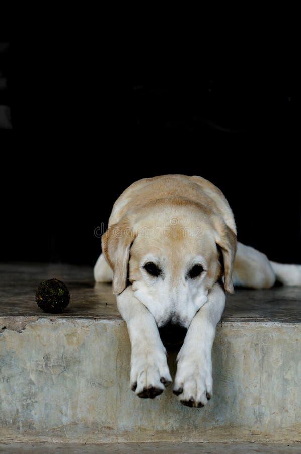 Yellow Labrador lay down stock photos