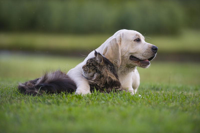 Yellow Labrador puppy with kitten stock photography