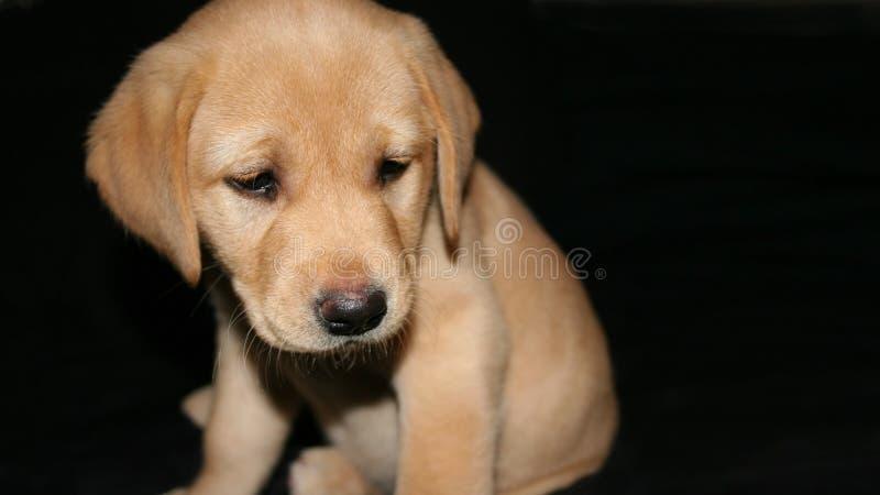 Yellow labrador puppy2