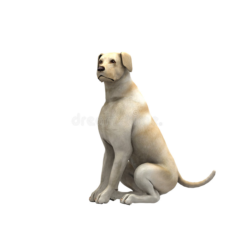 Yellow Labrador Retriever - 02 stock illustration