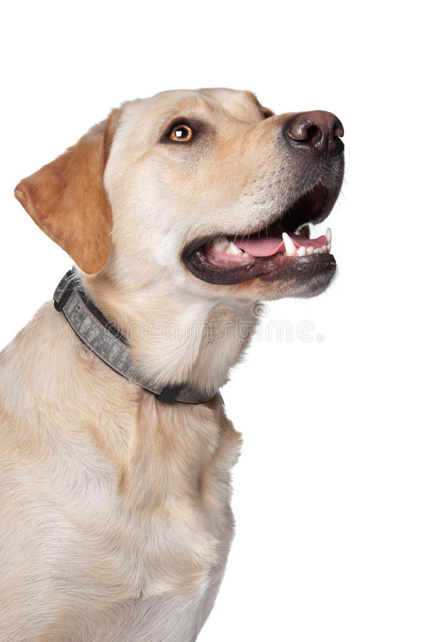 Download Yellow Labrador Retriever stock photo. Image of animal - 23176432