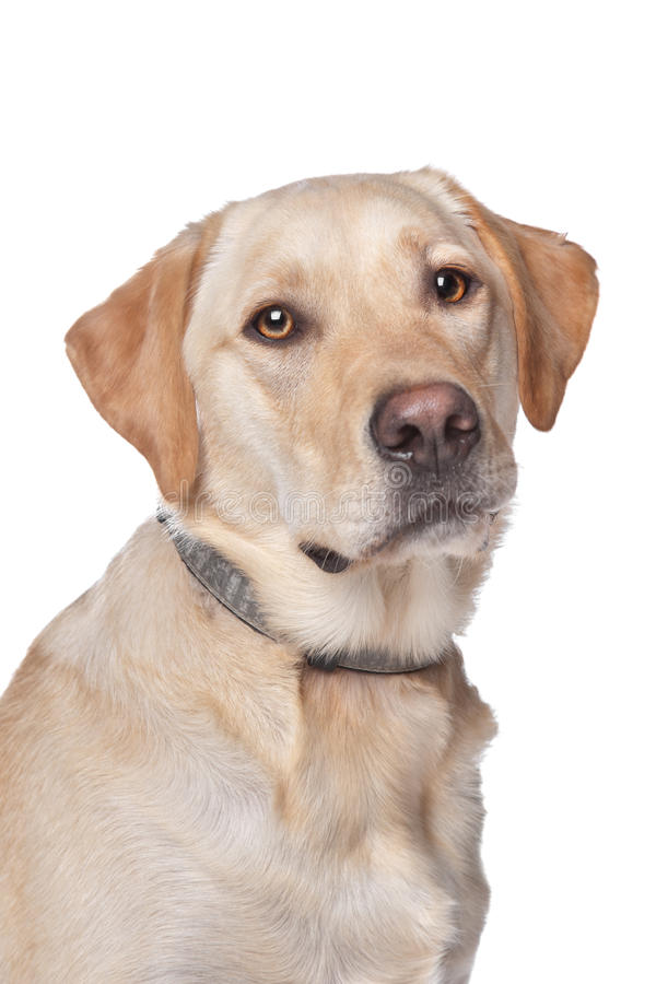 Free Yellow Labrador Retriever Royalty Free Stock Photography - 23176447