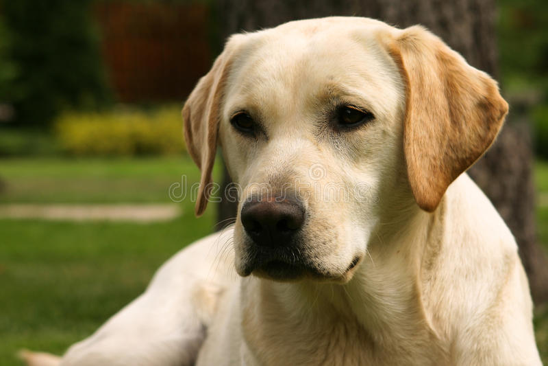 Yellow labrador retriever. On green grass lawn royalty free stock photography