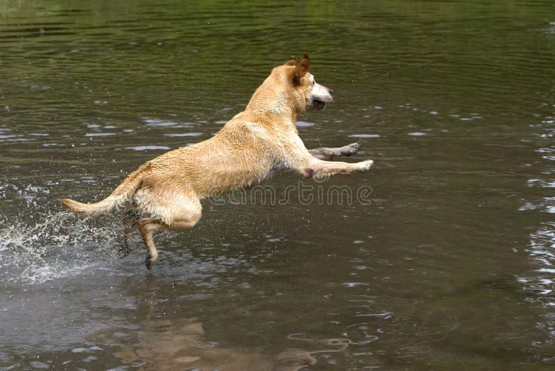 Download Yellow Labrador Retriever stock photo. Image of splashing - 25436308