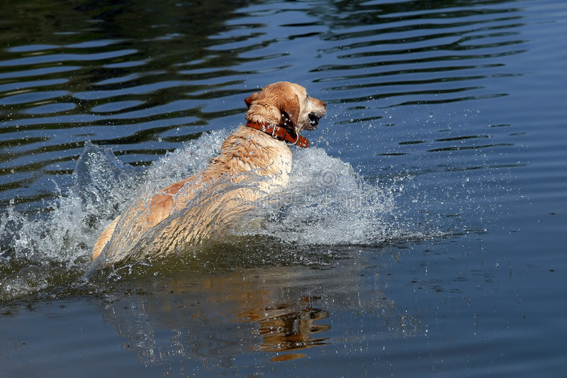 Yellow labrador retriever. Jumping into water, fast speed shot stock photo
